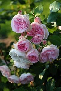 Alte Rosensorten Stark Duftend : duftrosen sch ne sorten englische duftrosen und pflege ~ Michelbontemps.com Haus und Dekorationen