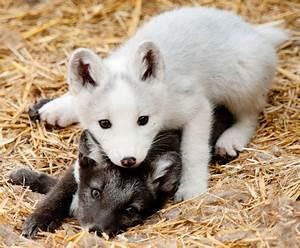 fox foxes arctic fox Baby fox red fox fox kits arctic fox ...