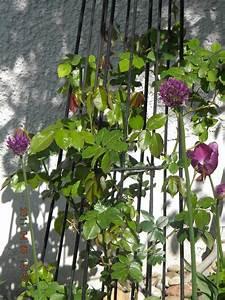 Rankhilfe Clematis Selber Bauen : rankhilfe clematis clematis im garten pflanzen tipps f r ~ Lizthompson.info Haus und Dekorationen