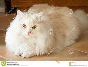 White And Apricot Persian Ragdoll Cat Lying Down Looking ...