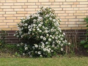 Kugelbäume Immergrün Winterhart : mittelmeer schneeball viburnum tinus pflanzen schneeball immergr ner schneeball ~ Watch28wear.com Haus und Dekorationen