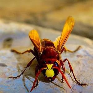 Of Hornet