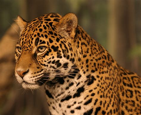 Jaguar Print by Animal Galleries Pictures Of Animals From Around The