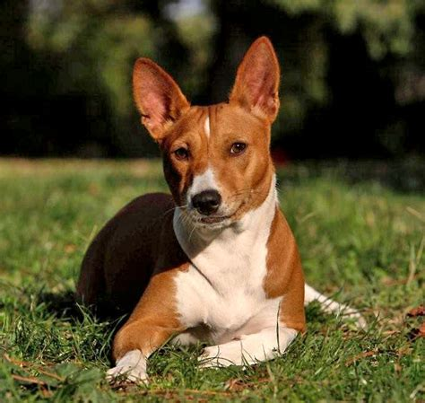Basenji Shedding A Lot by 10 Breeds Best Suited For Weather With Pictures