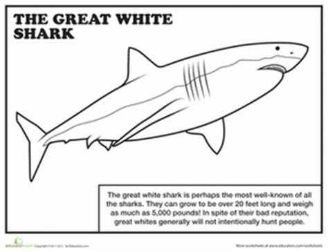 Great White Shark  Worksheet Educationcom