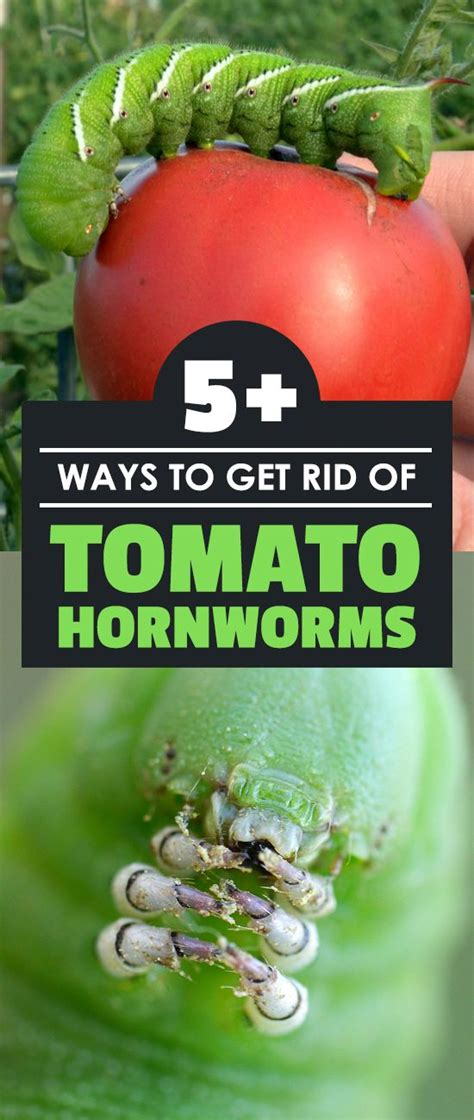 how do i get rid of tomato worms 104300 best great gardens ideas images on pinterest