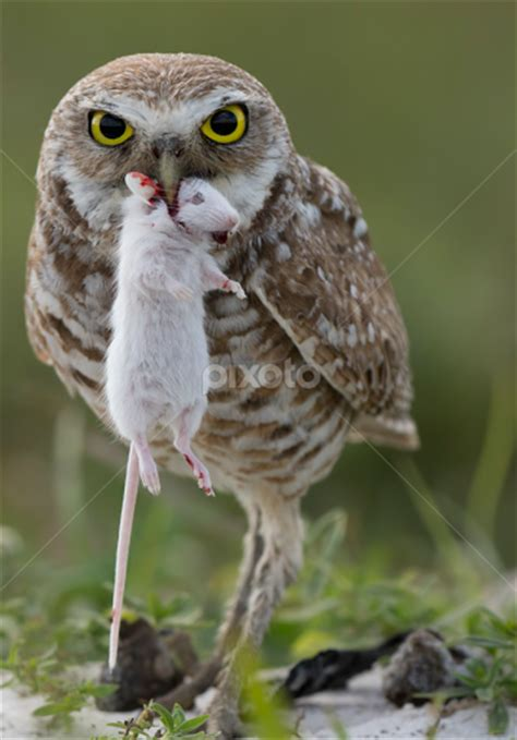what do owls eat burrowing owl eating www pixshark com images galleries with a bite