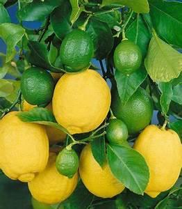 Zitronenbaum Gelbe Blätter : zitronenbaum krankheiten ~ Lizthompson.info Haus und Dekorationen