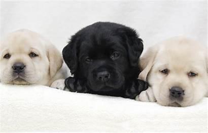 Labrador Retriever Puppies Puppy Dogs Trio Wallpapers