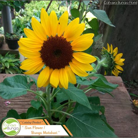 tanaman hias bunga matahari shopee indonesia