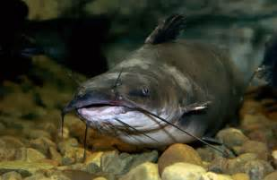 cat fish channel catfish
