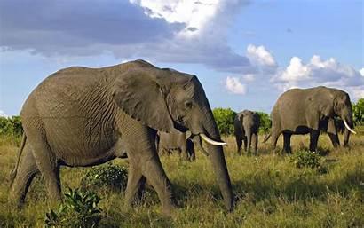 Elephants African Wallpapers Elephant Backgrounds Animal Background