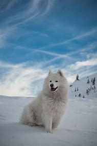 Samoyed Snow Dog
