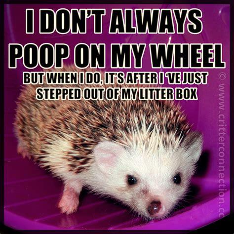 Hedgehog Meme - hedgehog hedgie cute adorable funny lol meme millermeade www critterconnection cc