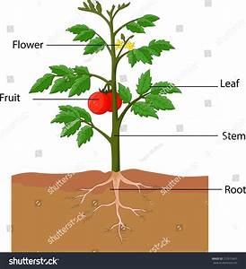 Illustration Showing Parts Tomato Plant Stock Vector