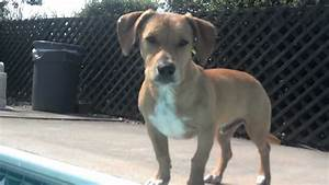 Jackson Dachshund/pitbull mix - YouTube