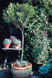 plante plein soleil en pot les 25 meilleures id 233 es concernant olivier en pot sur pots 224 billes cour rustique