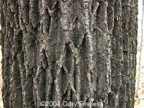 White Ash Tree Bark