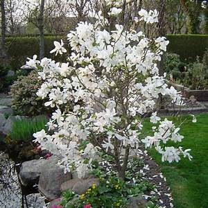 Magnolia, Dr. Merrill - Affordable Trees