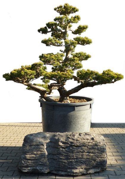 Garten Bonsai Winterfest Machen by Garten Bonsai Winterhart