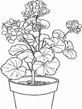 Plant Coloring Ivy Potted sketch template