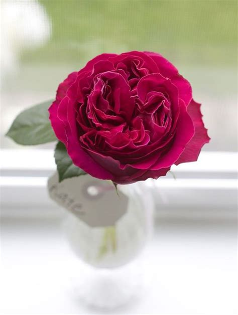 pink david roses 229 best images about ff rose color studies on pinterest pink garden rose varieties and