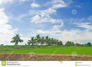 Rice Field With Coconut Tree Royalty Free Stock Image