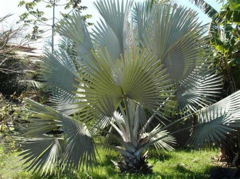 mudas de palmeira azul bismarckia nobilis 🥇 【 OFERTAS ...