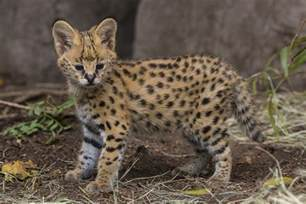 serval cat hello kitty serval kitten makes his debut at san