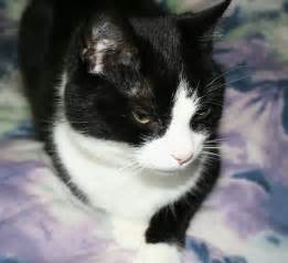 cat tuxedo tuxedo cat names purrfect cat names