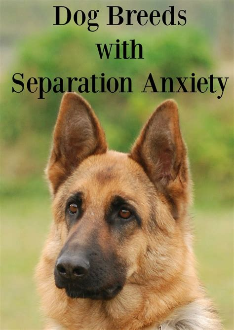 dog breeds  separation anxiety