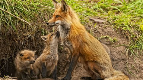 Fox Animal Wallpaper - animals fox baby animals wallpapers hd desktop and