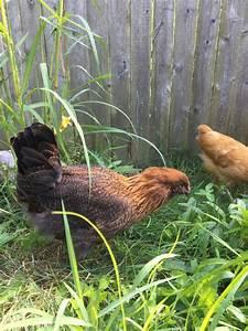 Chicken Breed Focus - Araucana | Page 2 | BackYard Chickens