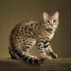 bengal cat images bengal cat ravi poc