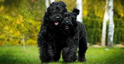 Russian Terrier Terriers Breed Breeds