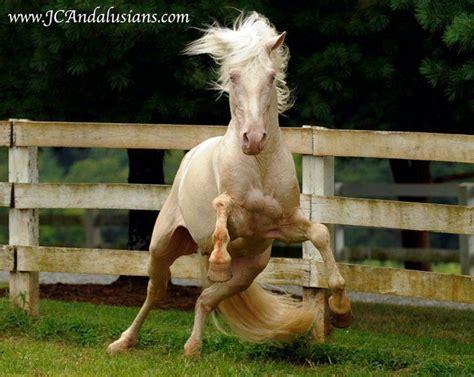 horse amancio stallion majestic horses cremello palmeiro andalusian paeivaekirja