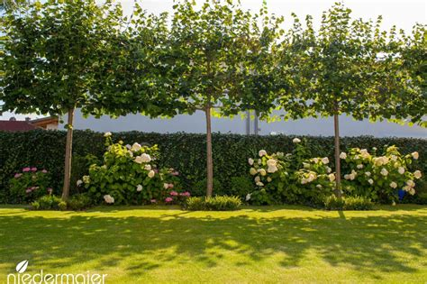 terrasse hö als garten 8606 spalierlinden als schattenspender und sichtschutz garten