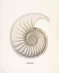 Nautilus Shell Clip Art | Nautilus clip art | For Claire ...