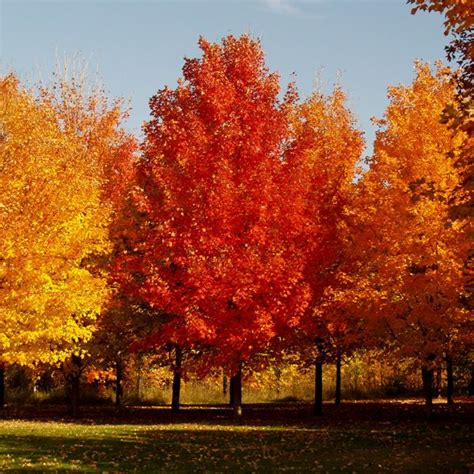 types of maple trees with pictures 47 best types of maple trees images on pinterest maple tree acer and maple syrup