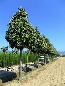 Arbuste Persistant Croissance Rapide : arbre persistant croissance rapide arbre persistant ~ Premium-room.com Idées de Décoration