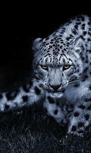 Snow leopard black and white posture eyes cat wallpaper ...