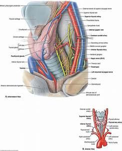 Anatomy Neck Region