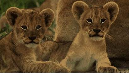 Lion Lions Funny Animals Gifs Animated Animal