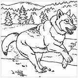 Wolf Coloring Pages Animals Worksheets Children Printable Adult Grade Reading 7th Students Justcolor sketch template