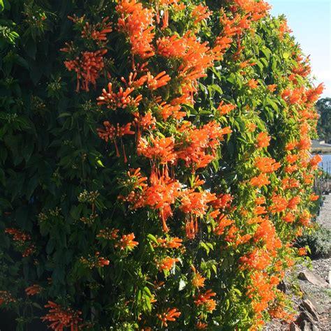 Pyrostegia Venusta  Overland Nurseries