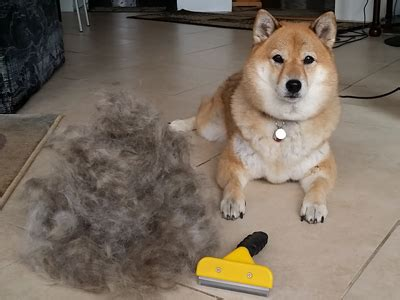 shiba shed is the shiba inu the right for me 6 points to
