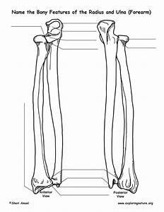 Radius And Ulna  Forearm   U2013 Bony Features