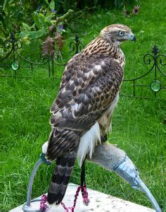 1000 images about birds of prey on pinterest falcons