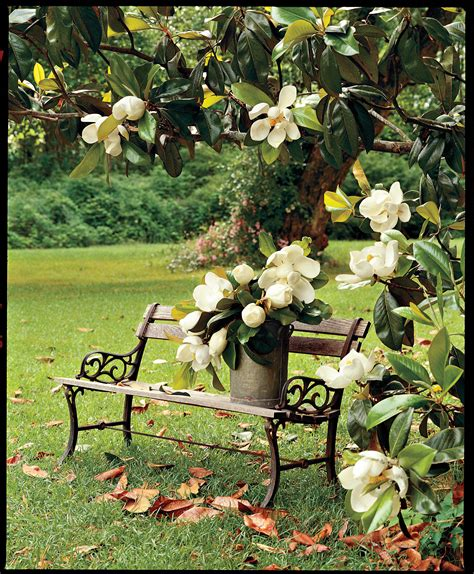 where to plant magnolia tree image gallery magnoliatree