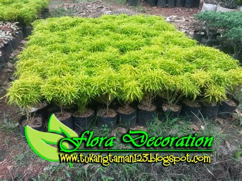 tukang taman murah pohon brokoli kuning tukang taman